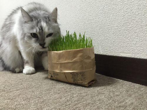 無印良品 猫草栽培セット 2個 簡単 安い