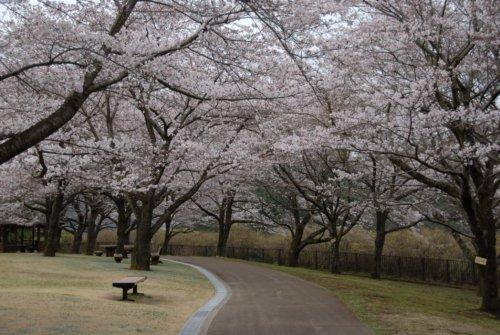 県立あいかわ公園 桜