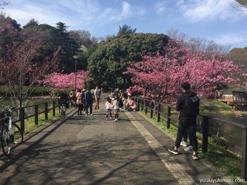 神奈川 横浜 三ッ池公園 駐車場 桜 花見 混雑 ピクニック 開花