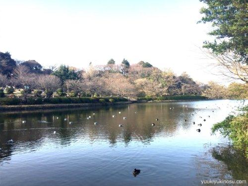 神奈川 横浜 三ッ池公園 駐車場 桜 花見 混雑 ピクニック 池 鳥 カモ