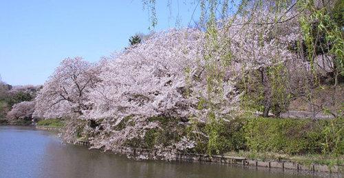 神奈川 横浜 三ッ池公園 駐車場 桜 花見 混雑 ピクニック