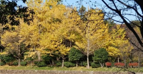 神奈川 横浜 三ッ池公園 駐車場 桜 花見 混雑 ピクニック 紅葉
