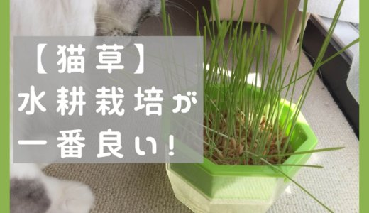 【猫草】水耕栽培で自作!コスパ良い+カビの心配もなし。